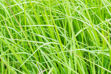 A natural green grass texture background with wind blow.