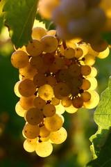 Weintraube Riesling