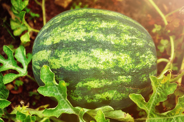 reife Wassermelone