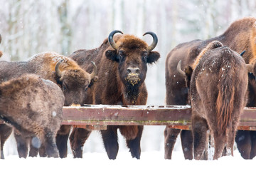 Large brown bisons Wisent group feeding near winter forest with snow. Herd Of European Aurochs Bison, Bison Bonasus. Nature habitat. Selective focus.