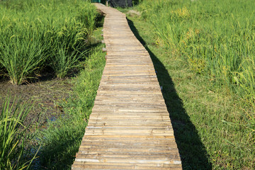 pathway on the rice field