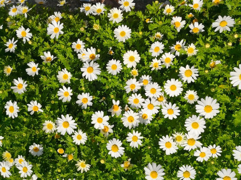Natural and background concept. White daisy flowers and green bush growing up in the garden. Top view field spring flowers. Full frame.