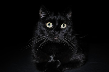Portrait of a domestic black cat on a black background