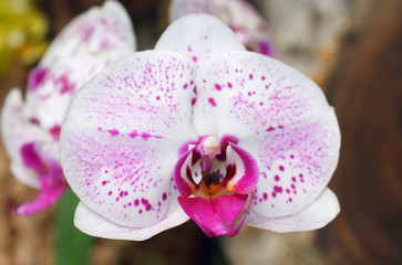 Beautiful pink orchid branch variety Phalaenopsis