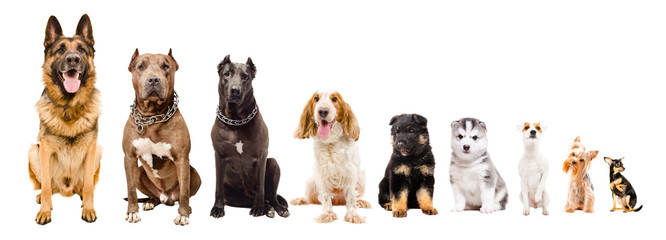 Dogs of different breeds sitting together isolated on white background