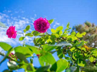 【静岡県伊豆市】赤いバラの花