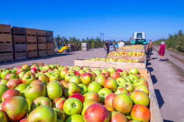 The harvest of fresh ripe red apples just collected from the trees are folded into large wooden pallet containers. A sunny autumn day in farmer's orchards. Production capacity of a orchards farm. Wall mural