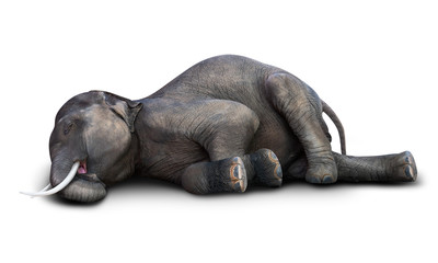 Dead elephant isolated