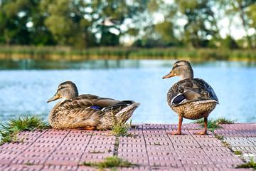 Pair of wild ducks on the pond pier in warm summer evening