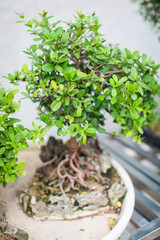 Close up green Japanese Bonsai Tree in the Garden at daytime with little leaves and roots in blur, view from above