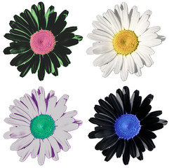 Multicolored bright classic flowers similar to a field daisy isolated