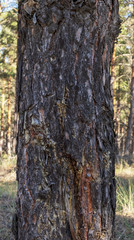 fragment of old pine trunk