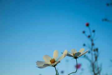 Cosmos flowers with evening sky background.