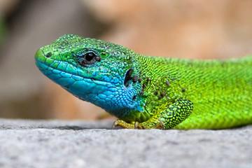Portrait of European Green lizard Lacerta viridis with blue head