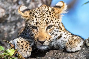 Leopard Cub's Stare Down