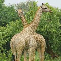 couple of giraffes in the rain in botswana