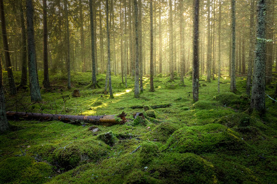 Beautiful green mossy forest with strong sunlight in the fog. Cozy relaxing atmosphere.