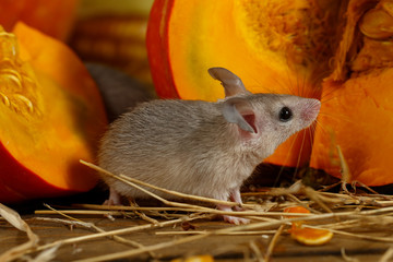 Close-up gray mouse stands and looking up near  orange pumpkin in the pantry. Small DoF focus put only to mouse head.