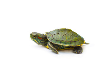 Foto op Aluminium Schildpad red-eared turtle on white background