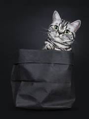 Excellent black silver tabby blotched green eyed British Shorthair cat kitten sitting straight in black paper bag, one paw on edge looking beside camera. Isolated on black background.