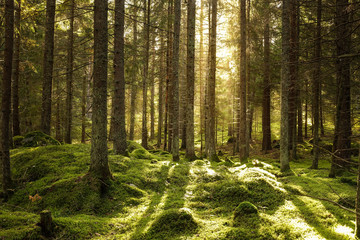 Beautiful coniferous forest. Backlit trees in warm cozy sunset. Stones and ground covered of green moss.