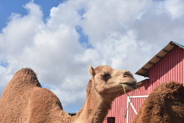 Adorable Dromedary Camel Eating