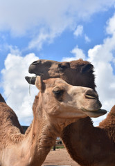 Camels with Necks Intertwinded on a Beautiful day
