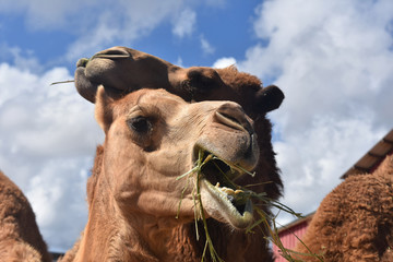 Pair of Camels Chewing with Mouths Open