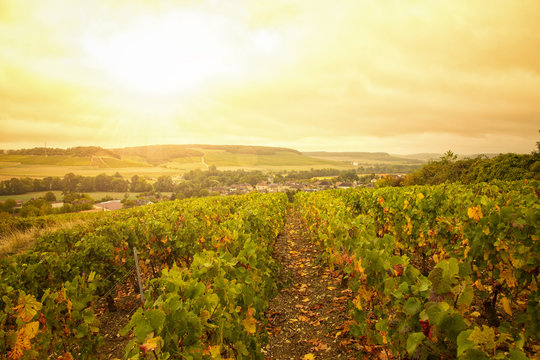 Vineyards in the Champagne region, France