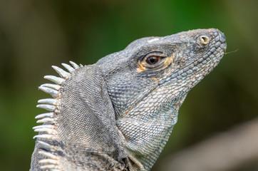 Green Iguana (Iguana Iguana) in Palo Verde National Park, Costa Rica