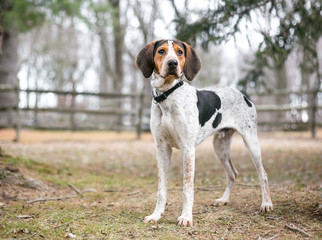 A Treeing Walker Coonhound dog outdoors