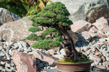 closeup of juniper bonsai in a japanese garden