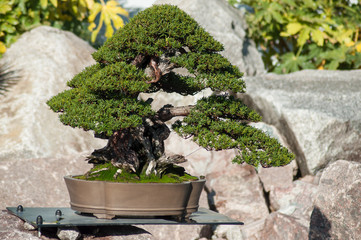 closeup of yew bonsai in a japanese garden