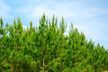 Loblolly Pines (Pinus taeda) Wall mural