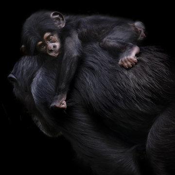 Baby Chimpanzee monkey on mothers back