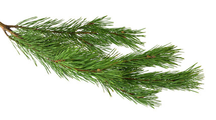 A branch of a pine close-up. Isolated without a shadow.