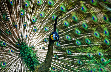 Beautiful Thai peacock head