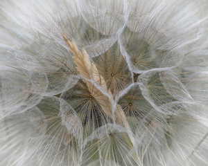 Large Dandelion flower seed head, abstract image.