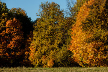 Maple yellow-red autumn forest closer to sunset in October