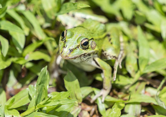 portrait of a green frog in the grass