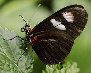 Red and Black Tropical Butterfly