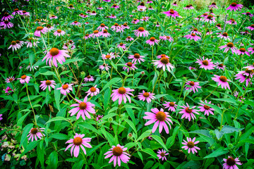 Pink flowers of Echinacea in the Park.