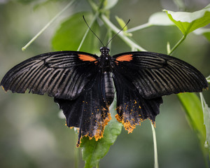 Swallow Tailed large red and black Butterfly
