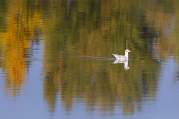 Black-headed gull.A young bird, the plumage of a young bird. The bird lands on the surface of the water. Autumn, October