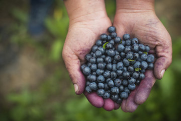 Overhead view of hands holding blueberries at field