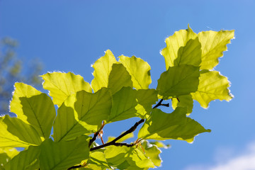 Close-up of some leaves of a Beech (fagaceae) tree in an english garden