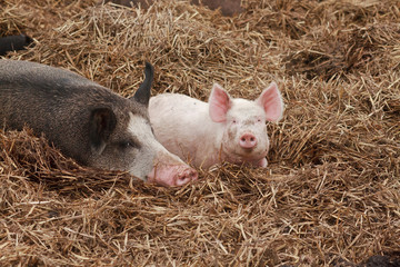 lucky little pink pig lying on straw with a brown other pig