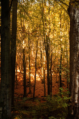 Mountain beech trees and forest at morning sun with light and shadows with autumn color tones. Ilsenburg, nature reserve Harz mountains, National Park Harz in Saxony-Anhalt, Germany