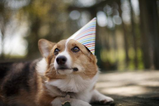Pembroke welsh corgi wearing party hat looking away