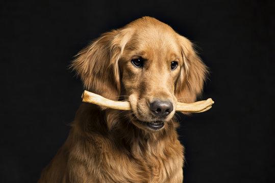 Golden Retriever with bone against black background